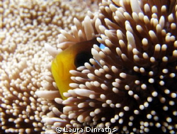 Anemonefish hiding in its anemone by Laura Dinraths 